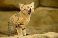沙丘猫图片_10张