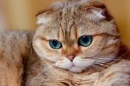 萌寵蘇格蘭折耳貓圖片_8張