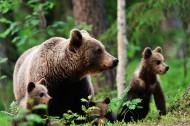 森林中的棕熊图片_6张