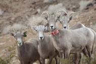 奇异的混血动物之山绵羊图片_14张