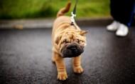 可愛的沙皮犬圖片_19張