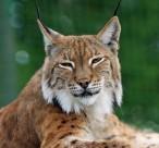 外貌似貓的猞猁圖片_15張