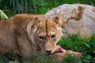 雌性狮子图片_8张