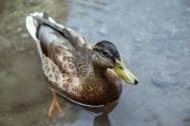水中的鸭子图片_17张