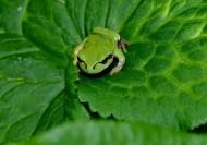 菜葉上的樹蛙圖片_5張