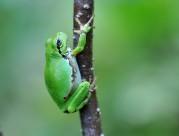 綠色樹蛙圖片_6張