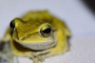 樹蛙圖片_5張