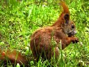 红褐色的小松鼠图片_15张