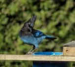 中型鸟类——松鸦图片_16张