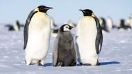 南极萌态十足的企鹅图片_12张