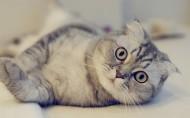 可愛的蘇格蘭折耳貓圖片_14張