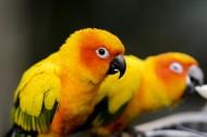 太陽錐尾鸚鵡圖片_10張