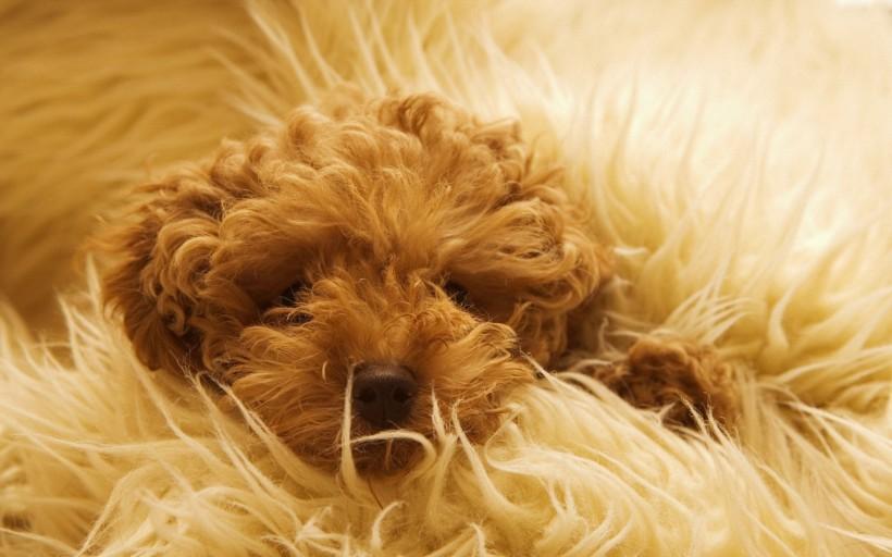 点击大图看下一张:可爱泰迪犬图片
