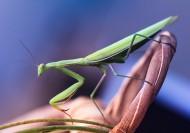 螳螂图片_6张