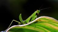 绿色嚣张的螳螂昆虫图片_7张