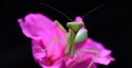 螳螂图片_13张