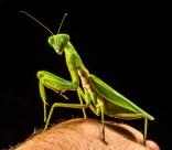 绿色霸道的螳螂图片_14张