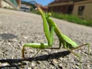 绿色霸道的螳螂图片_15张