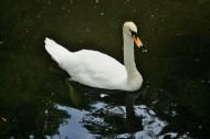 白天鵝圖片_6張