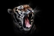 凶猛的老虎图片_11张