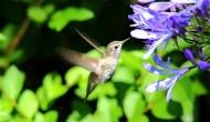 觅食的蜂鸟图片_12张