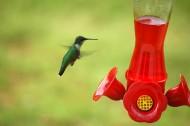 蜂鸟图片_17张