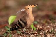 戴胜/以色列国鸟图片_5张
