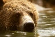 正在游泳玩耍的棕熊图片_14张