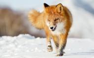 狡猾的狐狸图片_16张