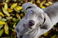 威玛猎犬图片_6张