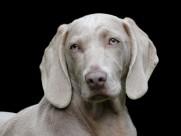 形态优雅的威玛猎犬图片_15张