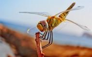 唯美的蜻蜓图片_13张