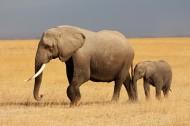 威武的大象动物图片_15张