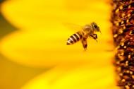 嗡嗡的小蜜蜂图片_12张