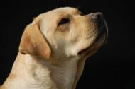 溫和的拉布拉多犬圖片_14張