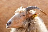 温顺的山羊图片_10张