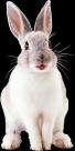 兔子透明背景PNG图片_18张