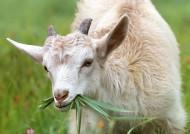 温驯可爱的山羊图片_11张