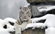 威猛的白虎图片_9张
