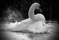 白天鵝圖片_19張