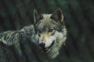 凶残的狼图片_14张