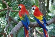 色彩斑斕的五彩金剛鸚鵡圖片_15張