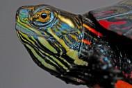 静静歇息的乌龟图片_16张