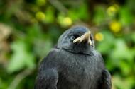 黑色的烏鴉圖片_17張