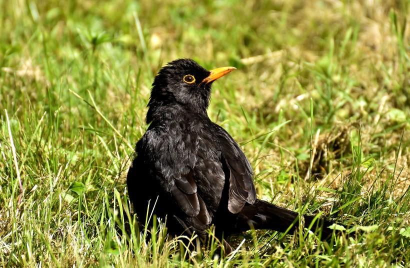 点击大图看下一张:黑色的乌鸦图片