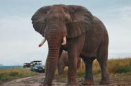 有象牙的大年夜象图片_14张