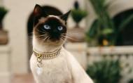 暹罗猫图片_13张