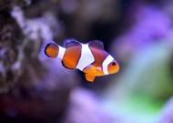 小丑魚高清圖片_14張