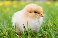毛绒绒的雏鸡图片_11张