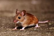 可爱的小老鼠图片_12张